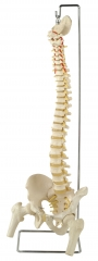 45 cm the model of spinal column