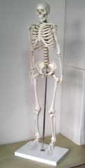 85cm Human Skeleton Model