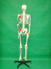 170cm Human Skeleton Model with enthesis of the half color  muscles