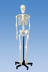 170cm Human Skeleton Model